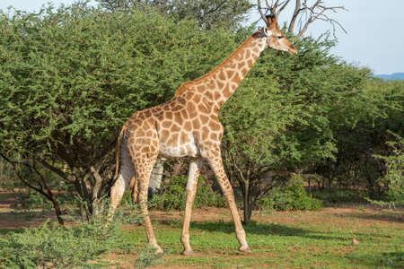 Giraffe at the Mokolodi Nature Reserve in Botswana