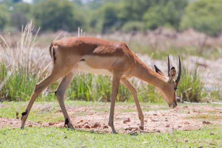 Impala at the Mokolodi Nature Reserve in Botswana photo