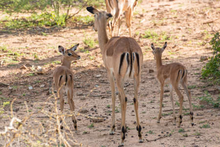 Impala family at the Mokolodi Nature Reserve in Botswana photo