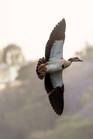 Egyptian Goose (Alopochen aegyptiacus) with black and white wings in mid flight Stok Fotoğraf