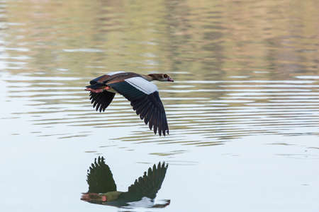 alopochen: Egyptian Goose (Alopochen aegyptiacus) with black and white wings in mid flight Stock Photo