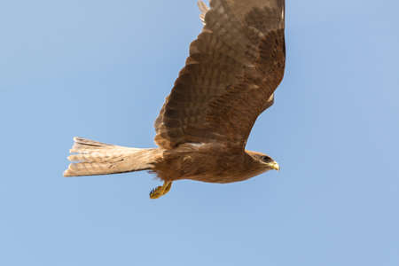 milvus: Black Kite which is locally known as Amora, flying in the air Stock Photo