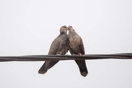 beaks: Two Dusky Turtle Doves showing affection during a mating ritual involving something resembling a kiss by interlocking their beaks Stock Photo