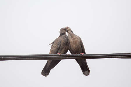 turtle dove: Two Dusky Turtle Doves showing affection during a mating ritual involving something resembling a kiss by interlocking their beaks Stock Photo
