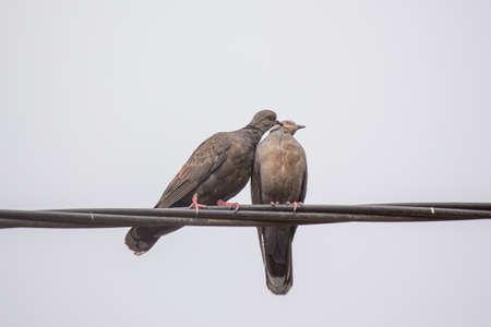 afecto: Dos palomas de la tortuga oscuros mostrando afecto durante un ritual de apareamiento Foto de archivo