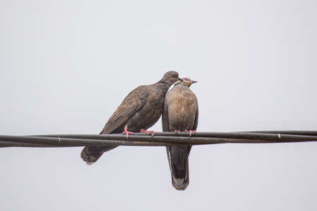 affection: Two Dusky Turtle Doves showing affection during a mating ritual Stock Photo