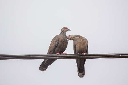 beak doves: Two Dusky Turtle Doves showing affection during a mating ritual Stock Photo