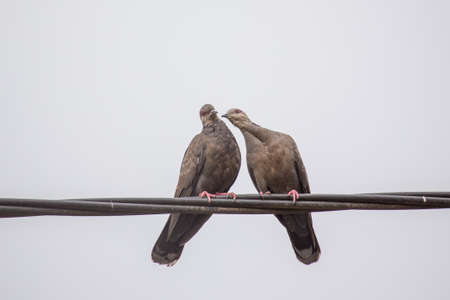 dusky: Two Dusky Turtle Doves showing affection during a mating ritual Stock Photo