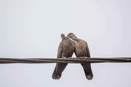 beak pigeon: Two Dusky Turtle Doves showing affection during a mating ritual Stock Photo