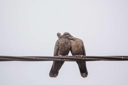 carino: Dos palomas de la tortuga oscuros mostrando afecto durante un ritual de apareamiento Foto de archivo