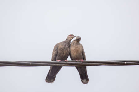 affections: Two Dusky Turtle Doves showing affection during a mating ritual Stock Photo
