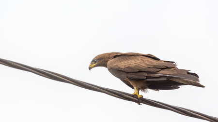 black kite: Black Kite, a medium sized bird of pray locally known as Amora,