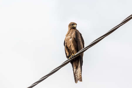 black kite: Black Kite, a medium sized bird of pray locally known as Amora in Ethiopia, Stock Photo