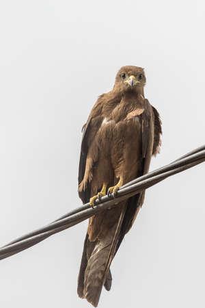 Black Kite, a medium sized bird of pray locally known as Amora in Ethiopia, Stock Photo