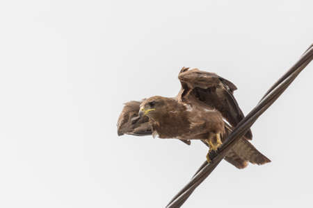 black kite: Black Kite, a medium sized bird of pray locally known as Amora in Ethiopia, about to take off Stock Photo