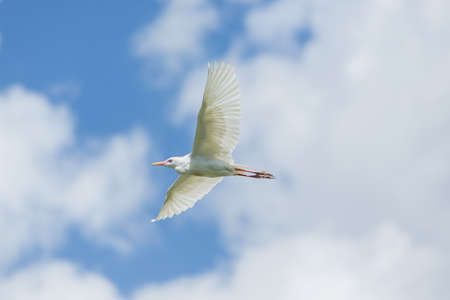 A Little Egret which is a small white Hernon in mid flight Stok Fotoğraf
