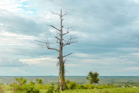 dying: A leafless dying tree with vine growing on its trunk standing tall in the meadow lit by the late afternoon sun