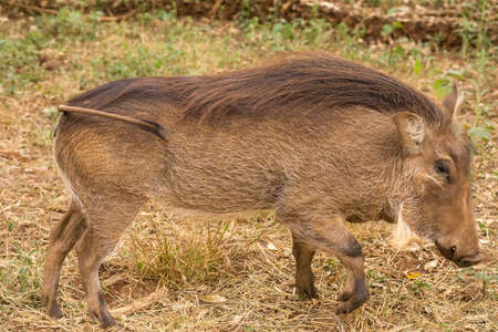 the game reserve: Warthog at the Gaborone Game Reserve in Gaborone, Botswana