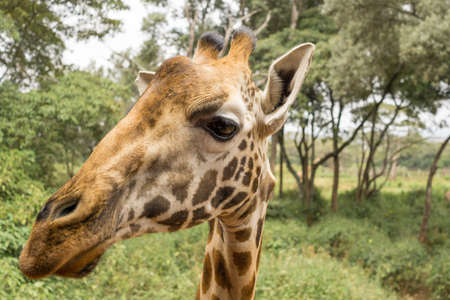 giraffe: Closeup headshot of an adult African Giraffe from the neck up