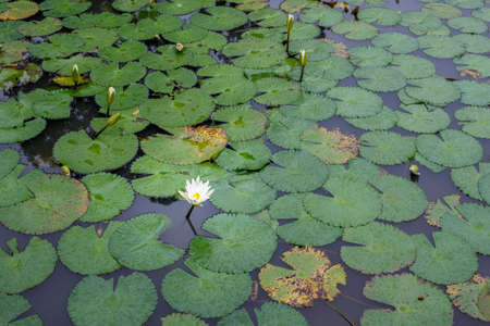 bamako: Beautiful white flower and broad leaves of the White Lotus, also known as the European white waterlily or the white water rose, floating in a small pond at the Bamako Zoo in Mali
