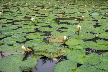 bamako: Beautiful white flowers and broad leaves of the White Lotus, also known as the European white waterlily or the white water rose, floating in a small pond at the Bamako Zoo in Mali