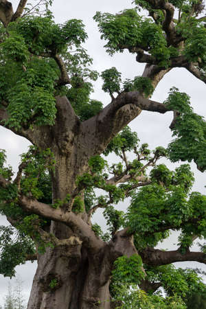 rural areas: Big Old trees with newly sprouting leaves common in the rural areas of Senegal