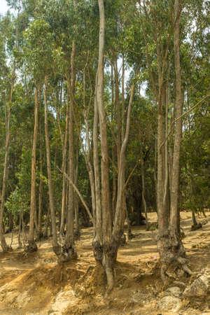Tall Eucalyptus trees alongside the road to Entoto, in Addis Ababa, Ethiopia Stock Photo