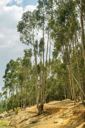 eucalyptus trees: Tall Eucalyptus trees alongside the road to Entoto, in Addis Ababa, Ethiopia Stock Photo
