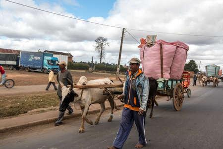 yoke: Antananarivo - May 2014: A rice farmer bring rice to the town market on a cart pulled by a pair of oxen fitted with a yoke. May 24, 2014, Antananarivo, Madagascar