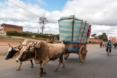 oxen: Antananarivo - May 2014: A rice farmer bring rice to the town market on a cart pulled by a pair of oxen fitted with a yoke. May 24, 2014, Antananarivo, Madagascar