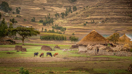 Cattle grazing near a small village hut with Tatched roof Sendafa area in Ethiopia
