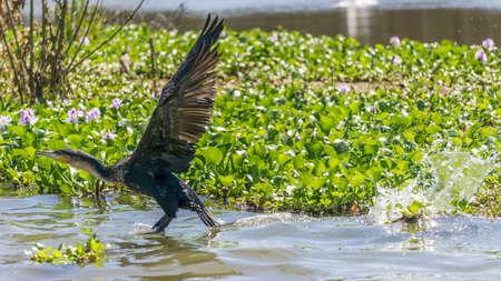 naivasha: Great Black Cormorant landing on Naivasha lake Stock Photo