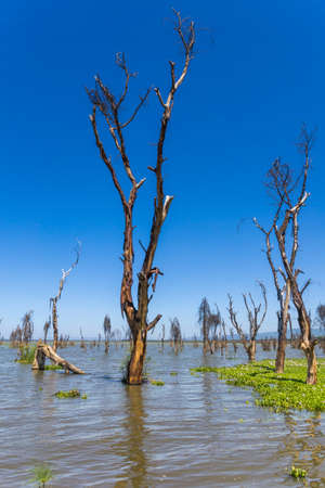 water hyacinth: The rising water level of Naivasha Lake, which is covered with water hyacinth, is flooding the bare trees near its shore