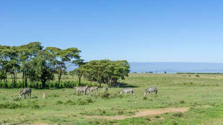 naivasha: A group of Zebras  grazing freely along the road to Naivasha, Kenya Stock Photo