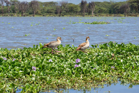 water hyacinth: Egyptian Geese walking on the floating Water hyacinth infesting Naivasha lake