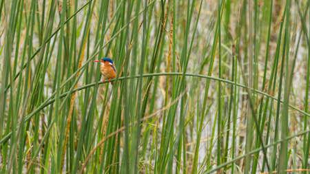 Malachite Kingfisher sitting on a grass straw in Hawassa Lake