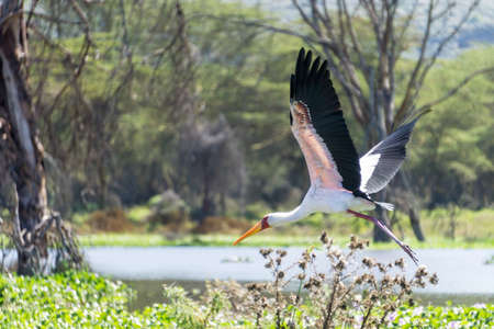 naivasha: Yellow-billed Stork flying over Naivasha Lake in Kenya