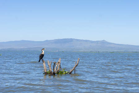 Great Cormorant on a submerged branch in Narvasha Lake