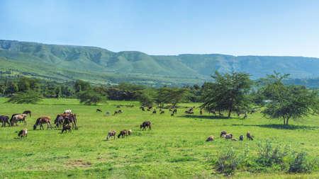 naivasha: Cattle, Sheep and goats grazing in the fields near Naivasha, Kenya