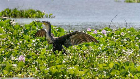 naivasha: Great Black Cormorant walking on the floating Water hyacinth infesting Naivasha lake