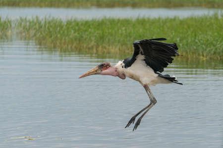 scavenger: A Marabou Stork scavenger bird about to land near Hawassa Lake