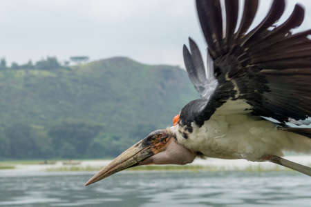 scavenger: A Marabou Stork scavenger bird in mid flight over Hawassa Lake Stock Photo