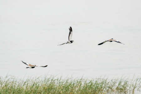 Spur-winged Lapwings in mid flight over Hawassa Lake