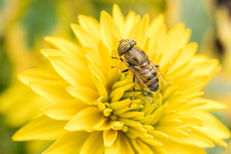 A close up shot of a hover fly polinating a yellow flower