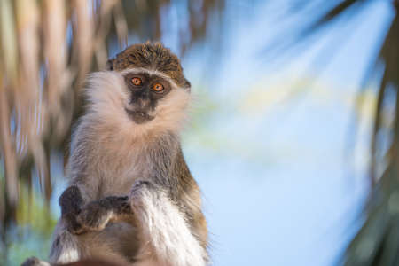 A small Vervet monkey from the Southren region of Ethiopia Imagens