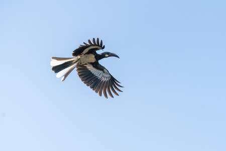 African Grey Hornbill flying high in mid air in Sodore, Ethiopia