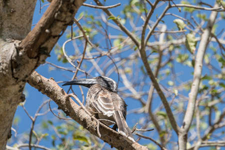 African Grey Hornbill perched on a tree in Sodore, Ethiopia Reklamní fotografie