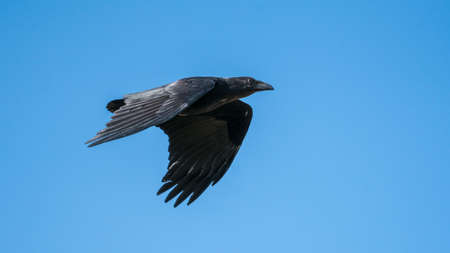 Fan-tailed Raven flying over in Sodere, Ethiopia
