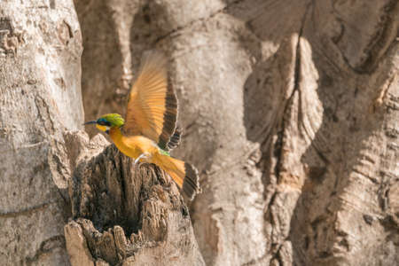 The colorful Ethiopian Bee-eater from the Merops lafresnayii family in Sodore, Ethipioa Reklamní fotografie