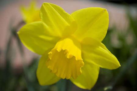 近くに黄色の daffodill の花のアップ